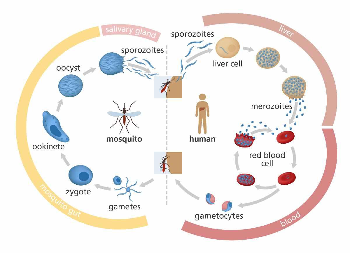 malaria_life_cycle_yourgenome